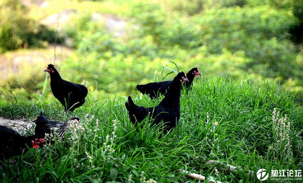 纯天然绿色健康食品:桑叶黑土鸡、土鸡蛋