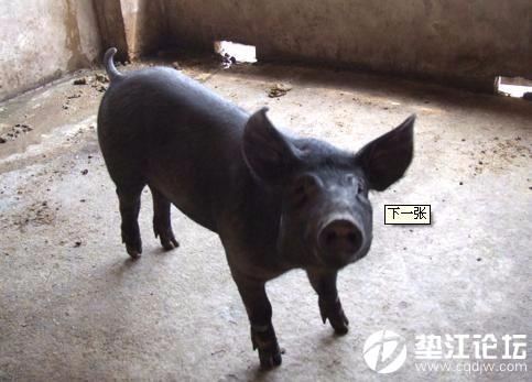 黑猪肉零卖,有需要的请联系13272579371