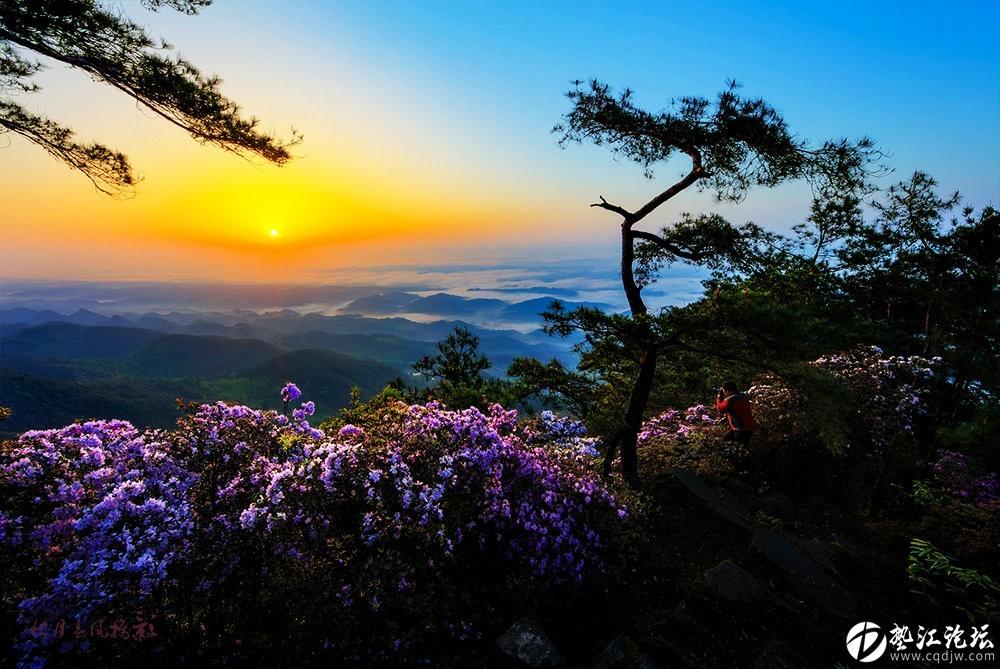 圖集:大美墊江之繽紛花季 ·寶鼎杜鵑(一)
