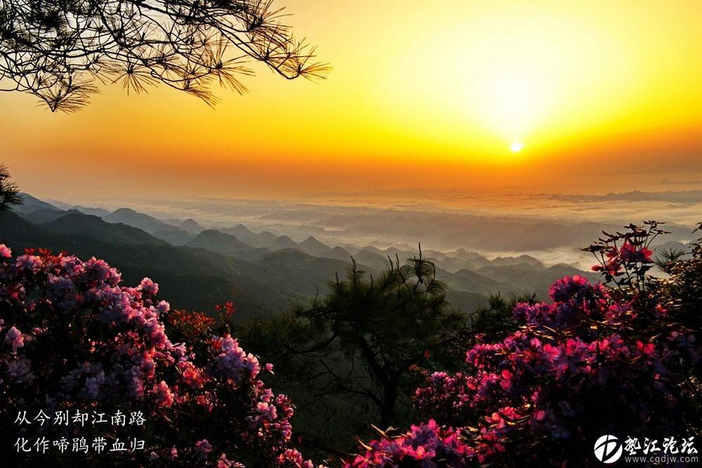 圖集:大美墊江之繽紛花季 ·寶鼎杜鵑(二)