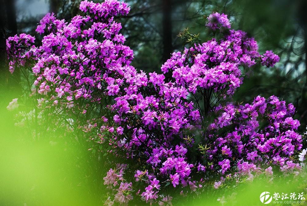 圖集:大美墊江之繽紛花季·寶鼎杜鵑(四)