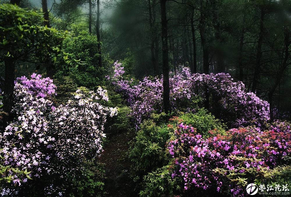 圖集:大美墊江之繽紛花季·寶鼎杜鵑(五)