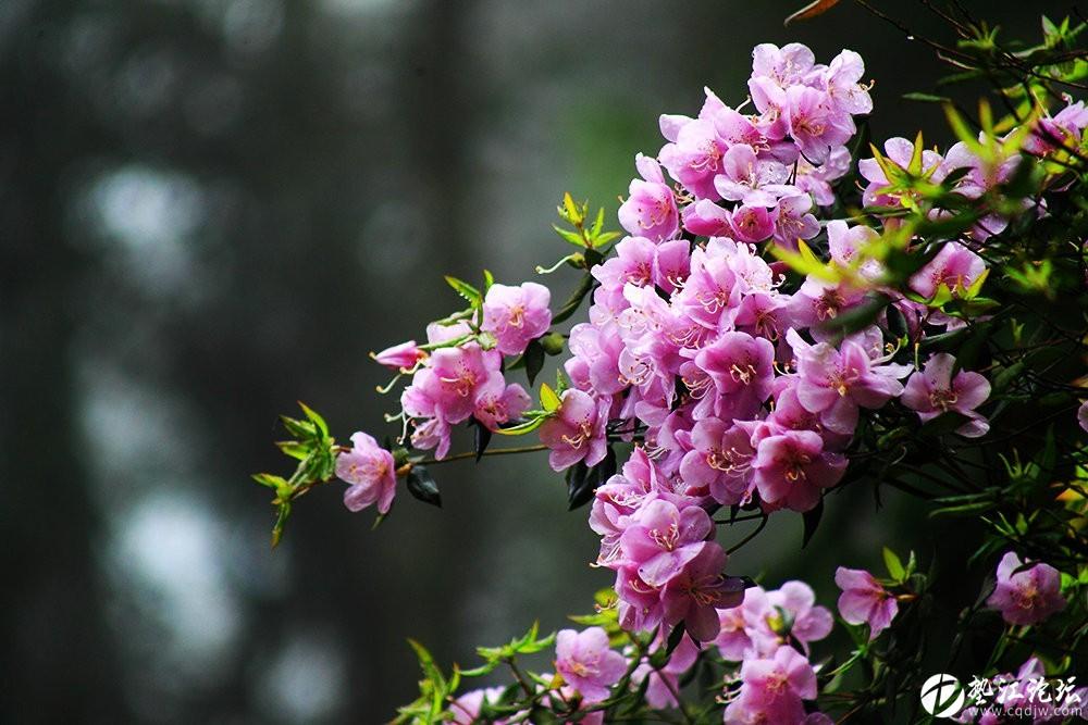 圖集:大美墊江之繽紛花季·寶鼎杜鵑(六)