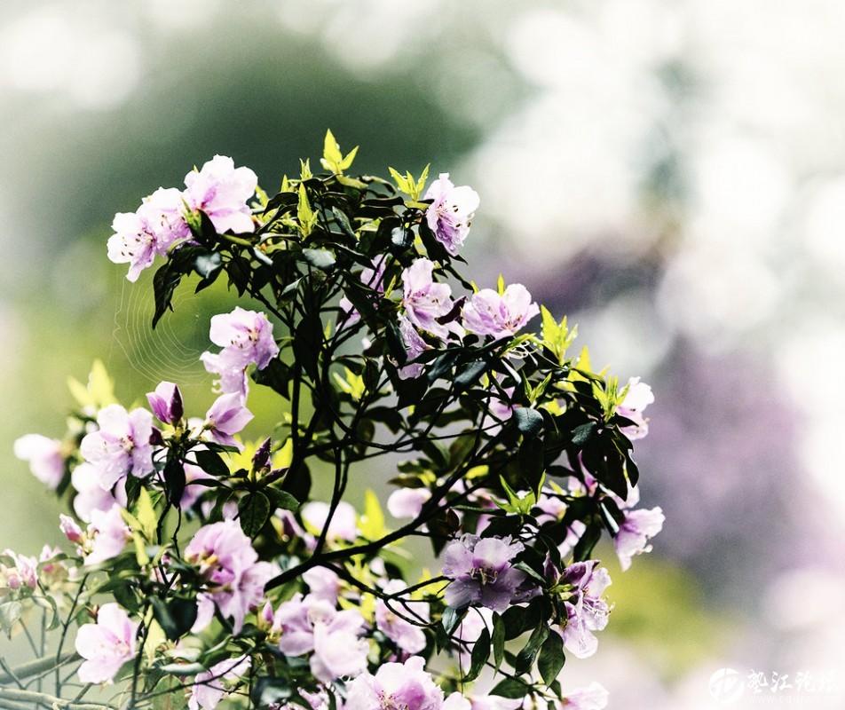 圖集:大美墊江之繽紛花季·寶鼎杜鵑(八)