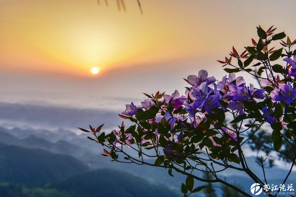 圖集:大美墊江之繽紛花季·寶鼎杜鵑(九)