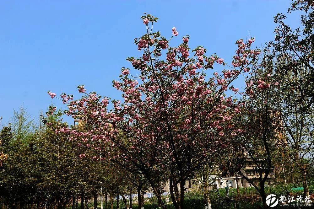 樱桃花开滨河路