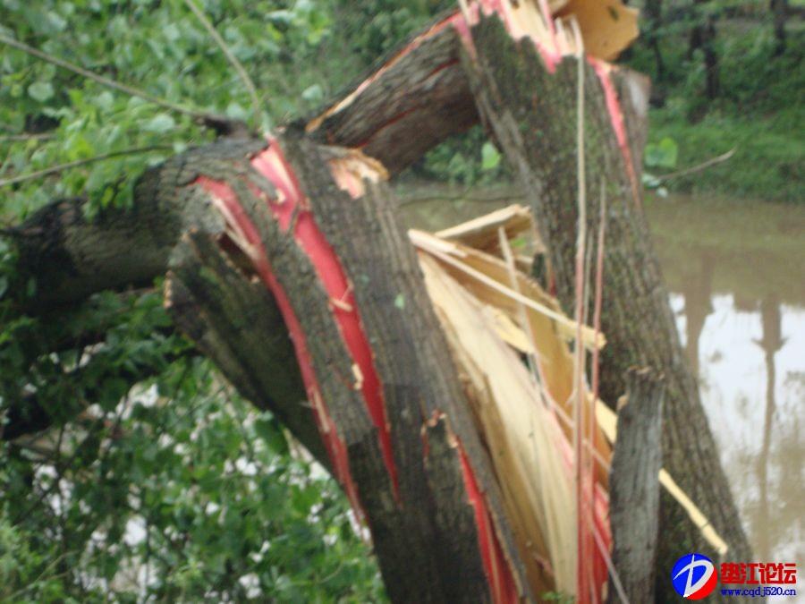 图片:大树流血